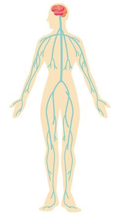 人体神経図